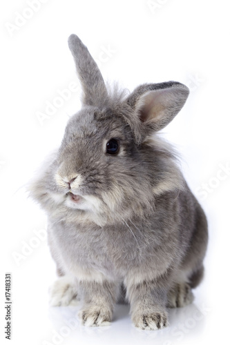 Grey dwarf rabbit