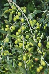 Ramo di olivo con frutti