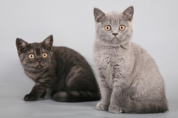 Two British Shorthaired Kittens