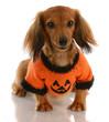 miniature dachshund wearing festive pumpkin sweater