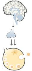 Pituitary gland hormone control