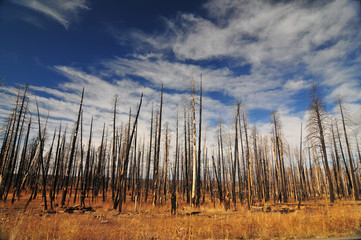 Burned pine and birch trees in the forest and plains of Arizona