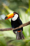 Fototapety Toco Toucan in deep forest vegetation