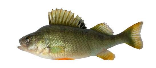 Freshwater fish (Perca fluviatillis)