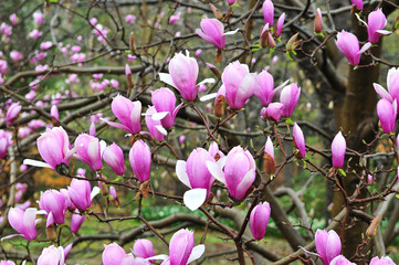 Pink Spring Magnolias in Bloom