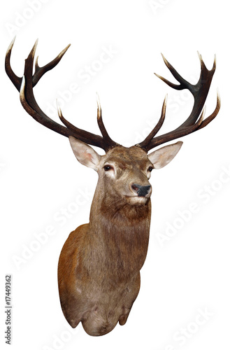 14 Point Sika Stag's Head with path