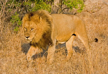 Male lion walking through long grass