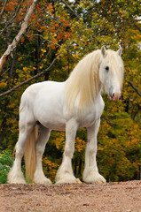 White shire draft horse portrait in autumn