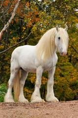 White shire draft horse portrait in autumn