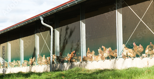 h hnerhaltung von herbie lizenzfreies foto 17473978 auf. Black Bedroom Furniture Sets. Home Design Ideas