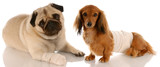 animal health - pug and dachshund with wounds poster