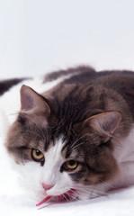 portrait de chat  la tête posée sur le sol - grande douceur
