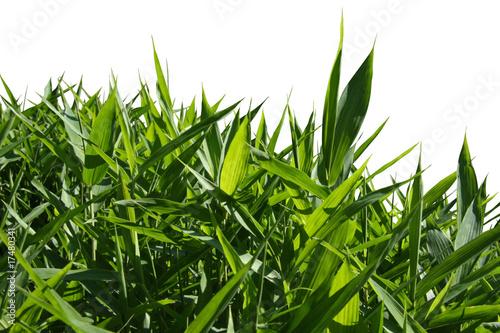 Foto op Plexiglas Bamboe buisson de bambou