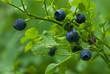 Blueberry sprigs