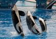 Killer Whale Family - 17496325