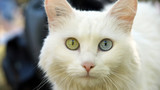 Chat  yeux bicolore poster