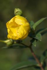 boccioli in fiore 3