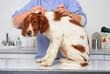 chiot épagneul breton inquiet lors de la vaccination du véto