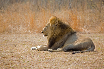Lion resting peacefully in the sun