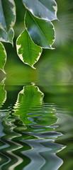 Feuille de ficus dans un reflet d'eau