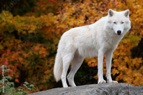 Foto op Canvas Wolf Arctic Wolf Looking at the Camera on a Fall Day