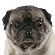Pug with nose and face piercings in front of white background