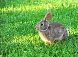 Cute cottontail rabbit in the grass