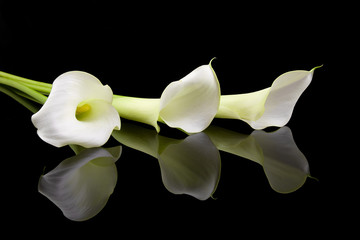 beautiful white Calla lilies over black background