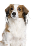 Kooikerhondje dog, 7 years old, in front of white background