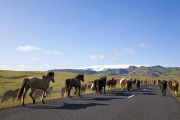 Icelandic Horses Running On A Road