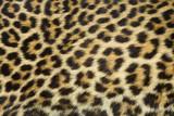 Fototapety leopard fur texture (real)