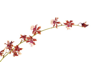 Branch of violet orchids isolated on white