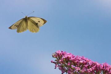 Kohlweißling beim Anflug auf eine Blüte