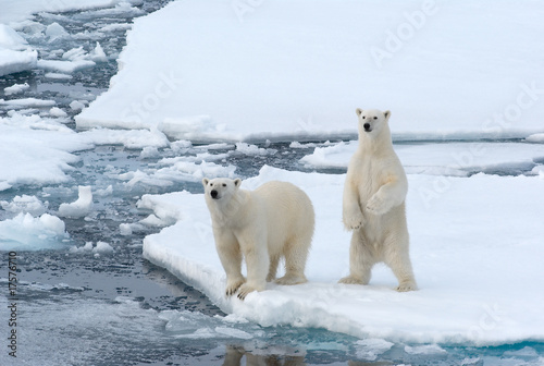 In de dag Ijsbeer Polar Bears