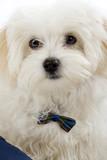 bichon maltese puppy poster