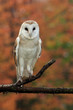 Barn Owl In Autumn