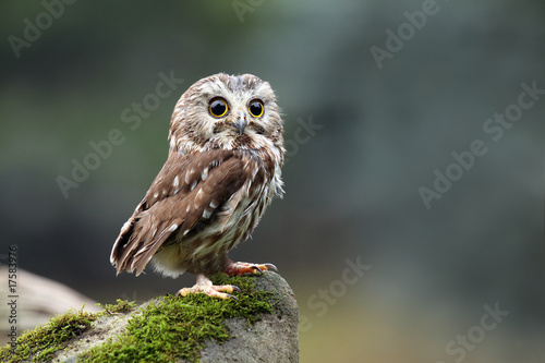 Deurstickers Uil Northern Saw-Whet Owl