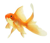 Fototapety gold fish