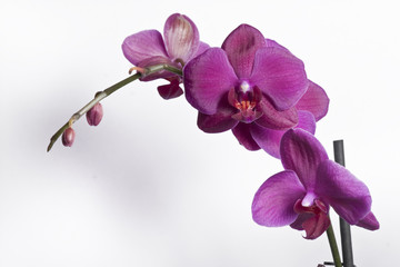 Close up of a purple orchid - isolated on white background