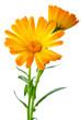 Лекарственные растения: два цветка календулы.  Малая глубина резкости.