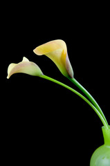 Two yellow calla in green vase