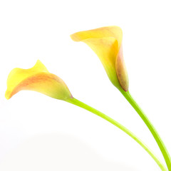 Two yellow Calla