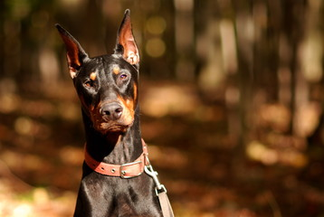 doberman pinscher portrait in the woods
