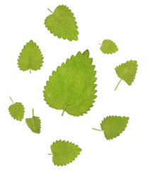 mint leaves on the white