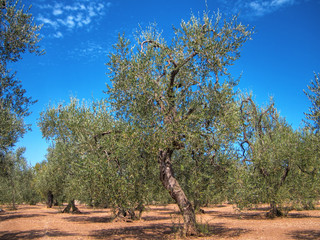Olives tree. Puglia.