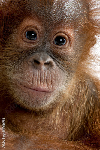 Close-up of Baby Sumatran Orangutan (4 months old)