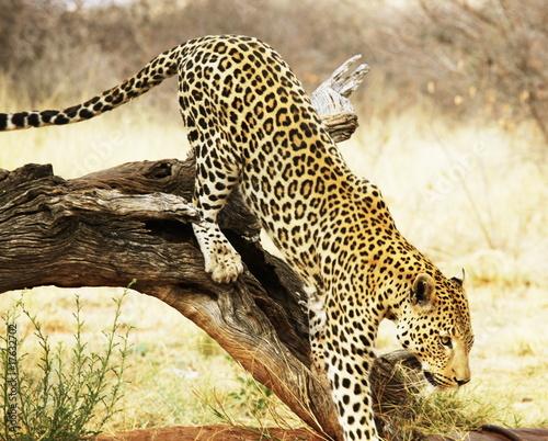Leopard na drzewie