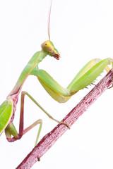 mantis climb up isolated on white background