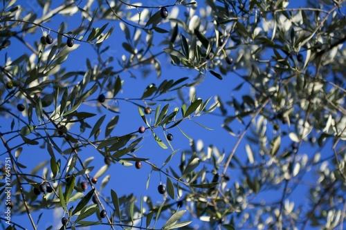 Papiers peints Oliviers Olive trees