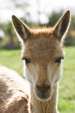 Head of Vicuna in backlight poster